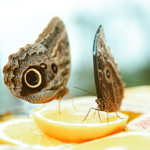 蝴蝶 水果 糖粉 飞蛾