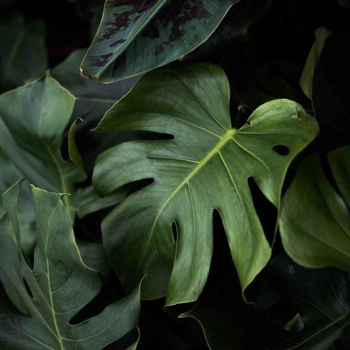 龟背竹 绿植 枝叶 绿叶