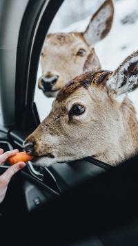 鹿 汽车 喂食 胡萝卜