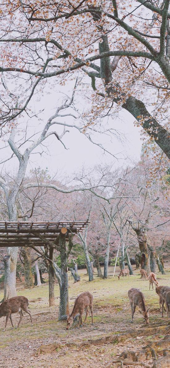 奈良 鹿 樱花 日本