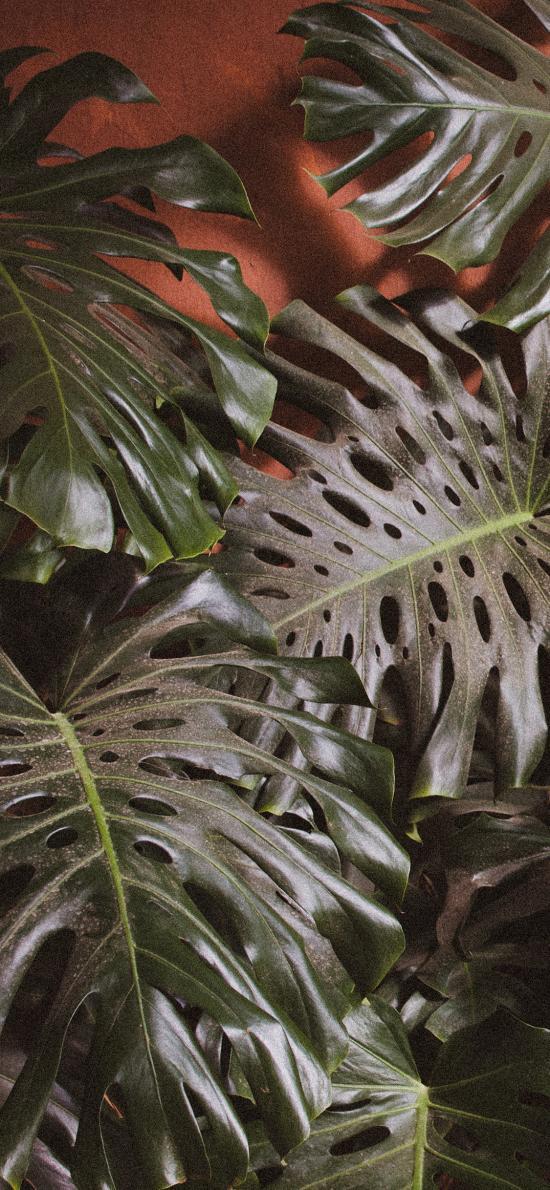 龟背竹 植被 叶子 绿色