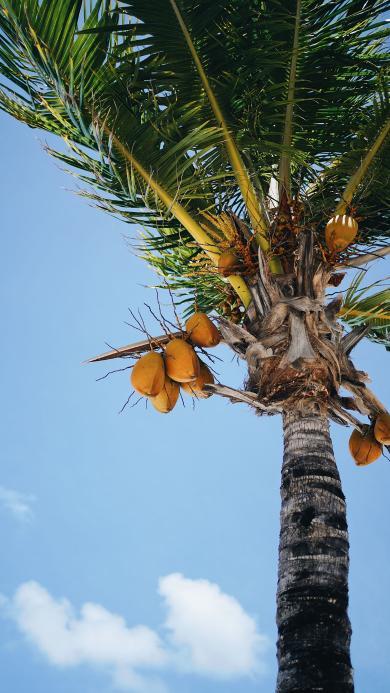 椰树 树木 叶子 果实 天空