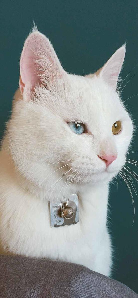 猫咪 宠物 异瞳 白猫