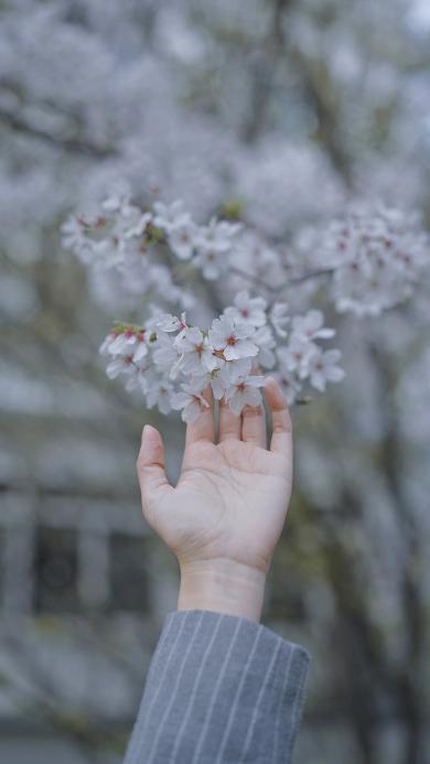 鲜花 枝头 盛开 春天 手