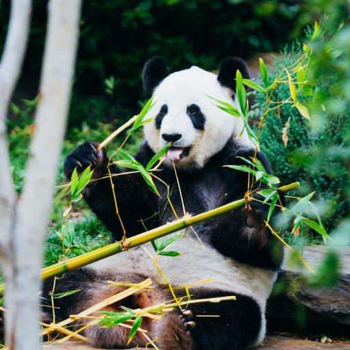 熊猫 国宝 竹子 饲养