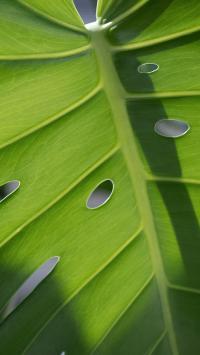 龟背竹 绿植 绿叶 叶脉