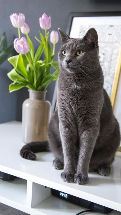 猫咪 宠物 蓝短 灰猫