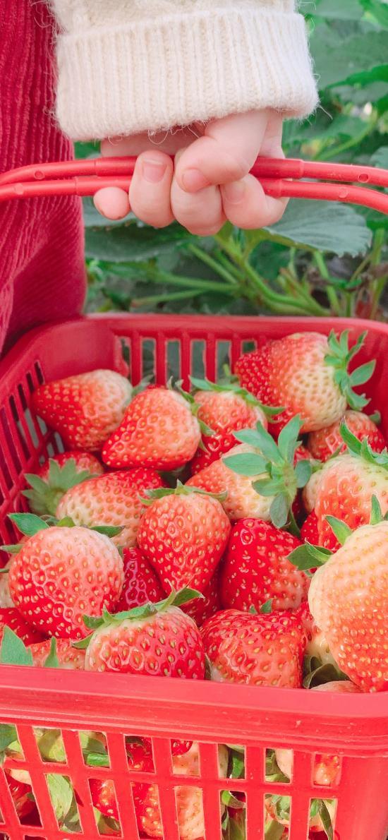 草莓 水果 红色 篮子 果实