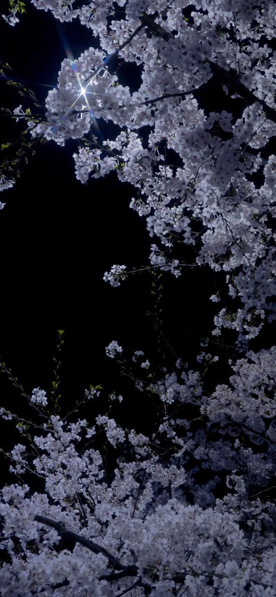 樱花 鲜花 夜晚 鲜花 盛开