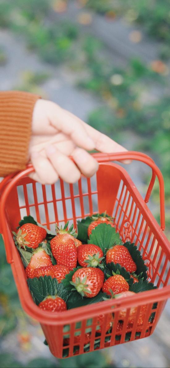 草莓 水果 新鲜 果实 果篮 采摘