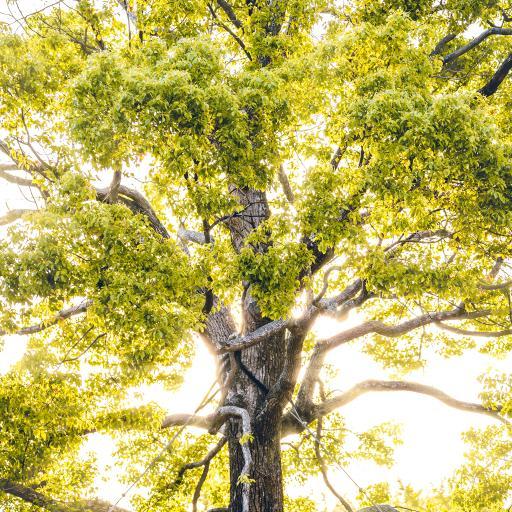 树木 树干 大树 树叶