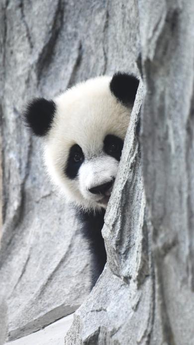 熊猫 可爱 国宝 躲避 岩石
