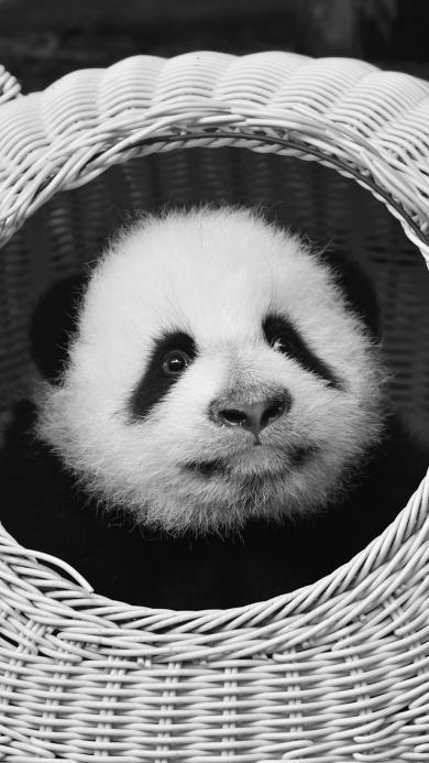 熊猫 可爱 幼仔 国宝