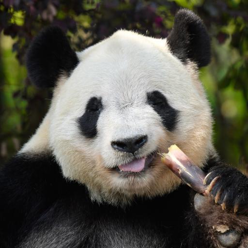 熊猫 国宝 竹子 竹笋 饲养