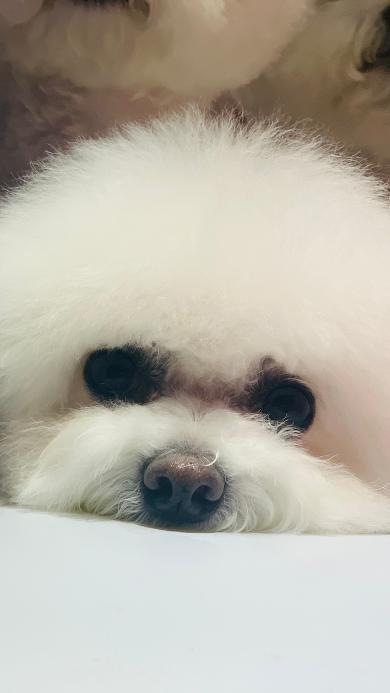 狗 比熊 宠物 头