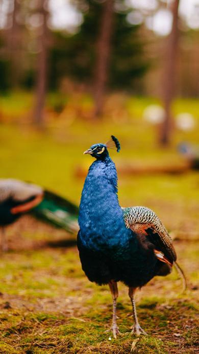 孔雀 饲养 草地 鸟类
