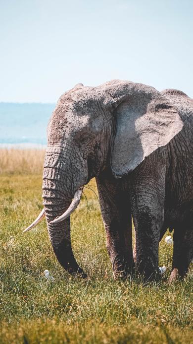 大象 草地 野外 象牙 野象
