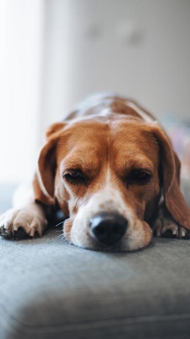 狗 宠物 沙发 乖巧