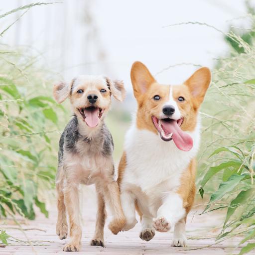 宠物 柯基 奔跑 狗 可爱