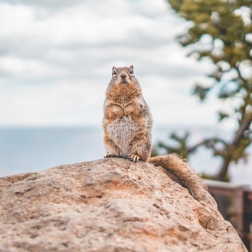 松鼠 岩石 可爱 站立