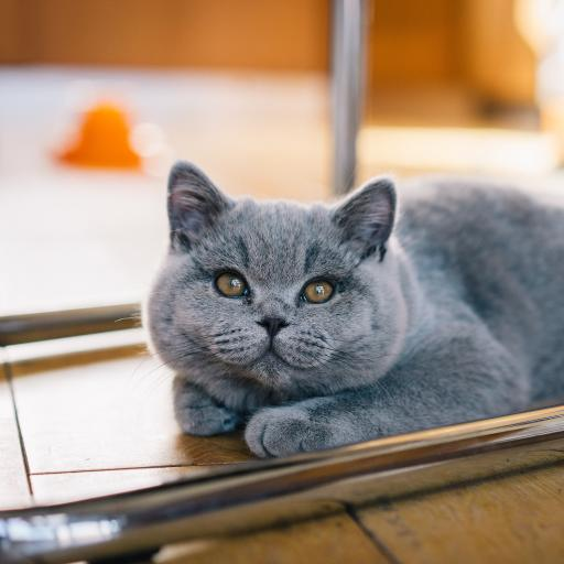 蓝猫 宠物 猫咪 可爱