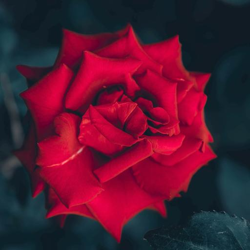 玫瑰 鲜花 花朵 枝叶
