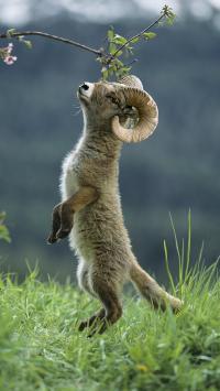 郊外 草地 山羊 幼崽 羊角
