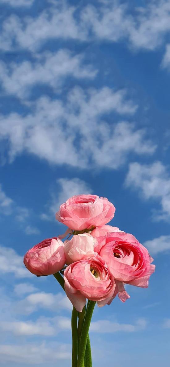 蓝天白云 鲜花 花毛茛 粉色