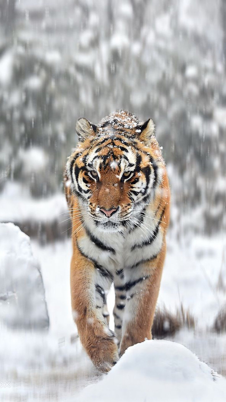 老虎 猛兽 凶猛 猫科 雪地 下雪 冬季 苹果手机高清壁纸 750x1334 爱思助手