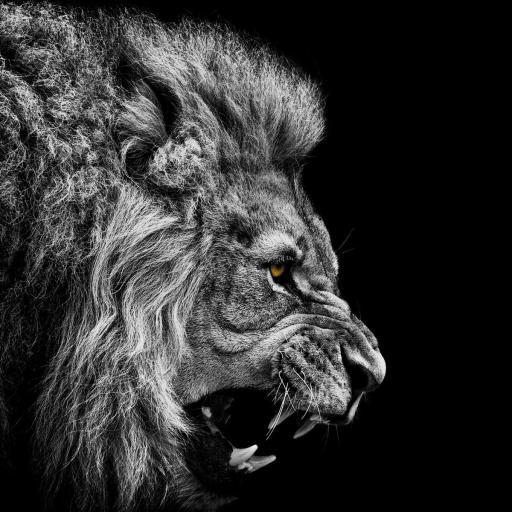 狮子 凶猛 黑白 动物