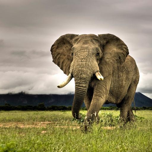 大象 动物 草原 非洲 牙