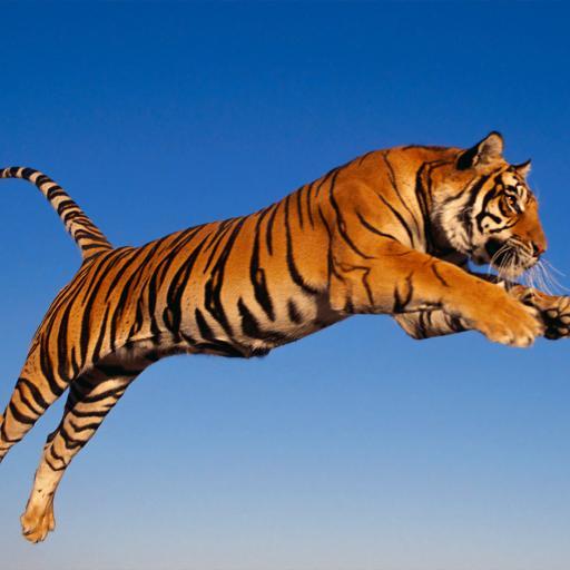 老虎 跳跃 斑纹 猛兽