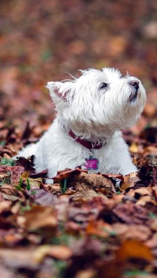 狗狗iPhone5/5S壁纸 狗狗壁纸 动物壁纸