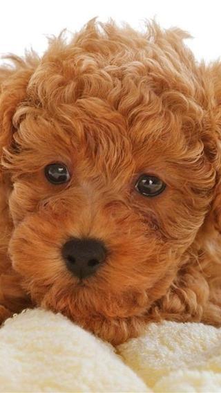 泰迪810292028 狗狗壁纸 动物壁纸
