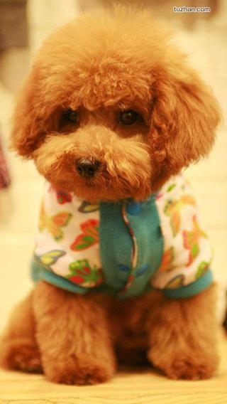 可爱 动物 贵宾 泰迪