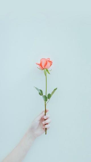花 植物 玫瑰