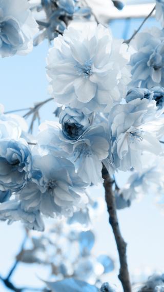 清新 花朵 蓝白 鲜花 唯美
