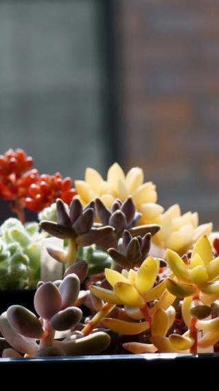 多肉 植物  彩色