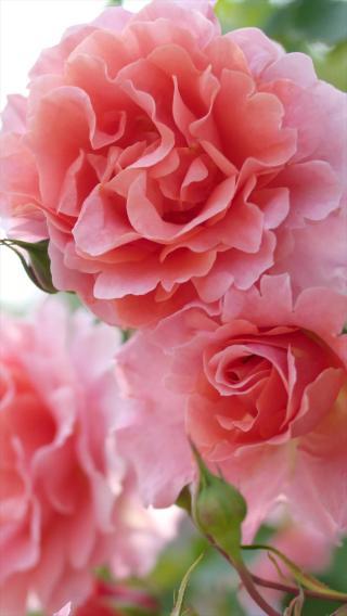 鲜花 粉红玫瑰 爱