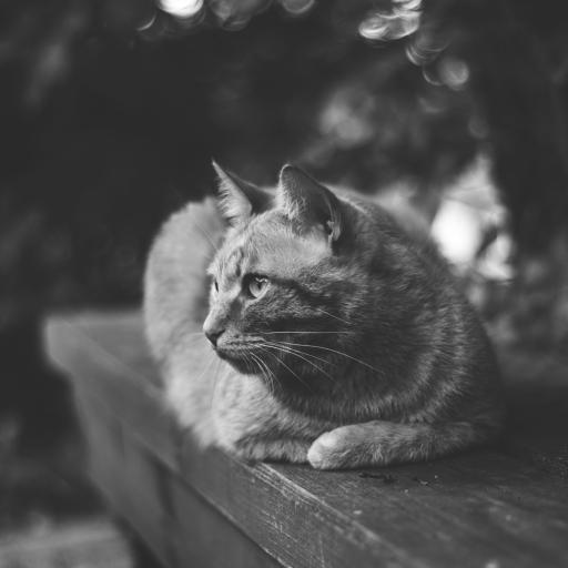 黑白 高冷的大猫