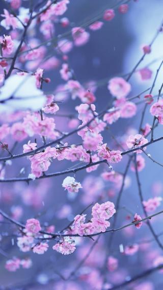 梅花 粉色 鲜花 春天
