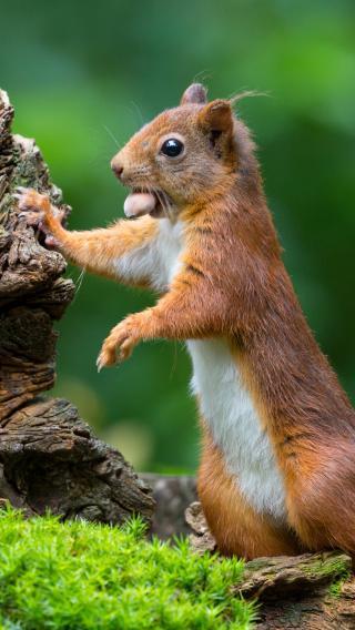 松鼠 坚果 森林