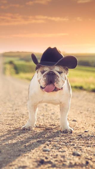 狗狗 斗牛犬 帽子