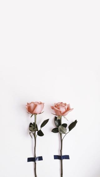 粉玫瑰 鲜花 浪漫