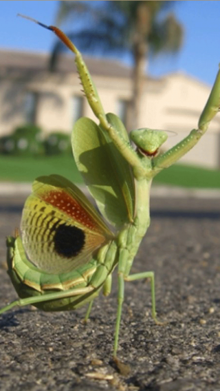 昆虫 螳螂 绿色