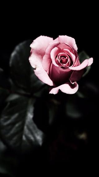 粉玫瑰 植物 高清