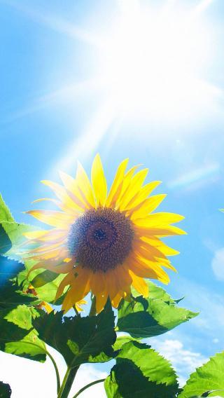 阳光下 向日葵 植物 花朵