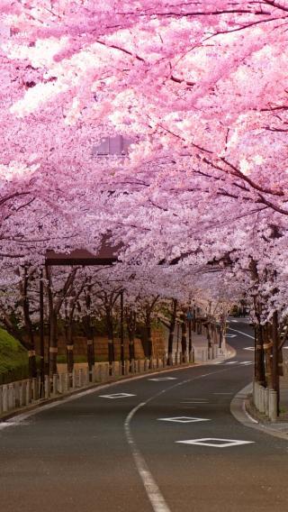 唯美 浪漫 花季 樱花