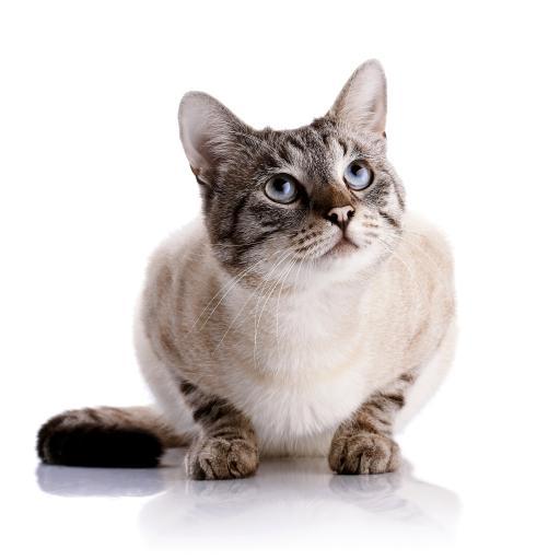 宠物猫 白色 条纹 可爱