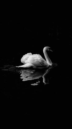 天鹅 黑白 湖水